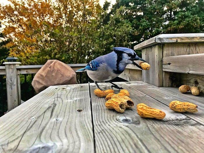 Blue jay Blue Jay Animal Animal Themes Animal Wildlife Vertebrate Animals In The Wild Bird Wood - Material One Animal No People Day Nature Tree Perching Food Outdoors Beauty In Nature Eating