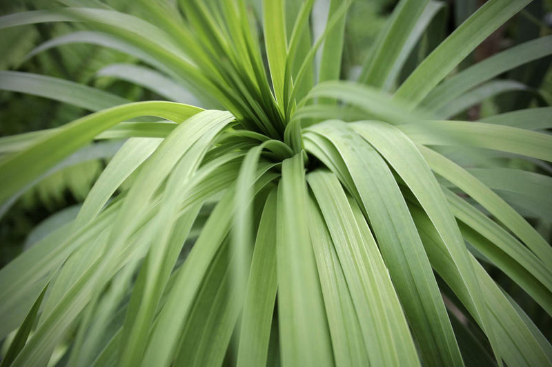 Growth Plant Leaf Close-up Green Color Nature Full Frame Backgrounds Beauty In Nature Freshness Selective Focus Green Leaves Palm Leaf Outdoors Day Extreme Close-up Tranquility Fragility Botany