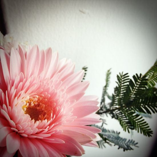 pink flower gerbera . cute & Happy .we had a lovely time. ピンク ガーベラ Pink Flower Gerbera Cute Happy Lovely Relaxing Peace Relaxing Time Beautiful Day Feeling Thankful