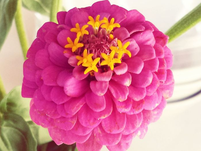 Flowers Fucsia Nature Countryside Details Nature_perfection Zinnia