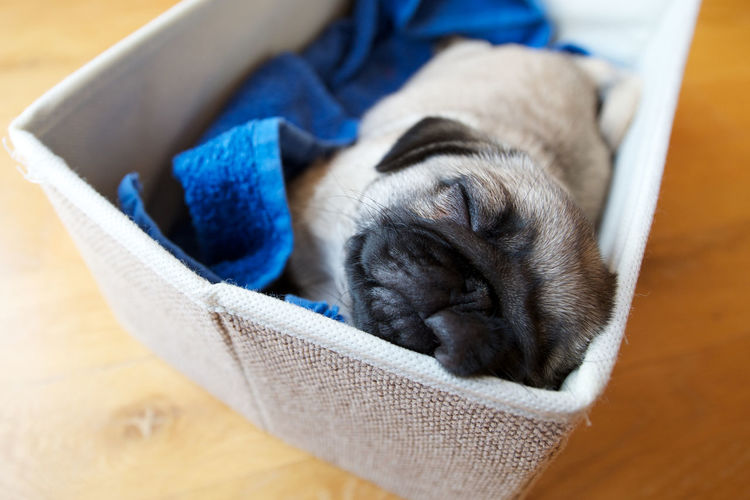 High angle view of pug puppy sleeping in pet bed at home