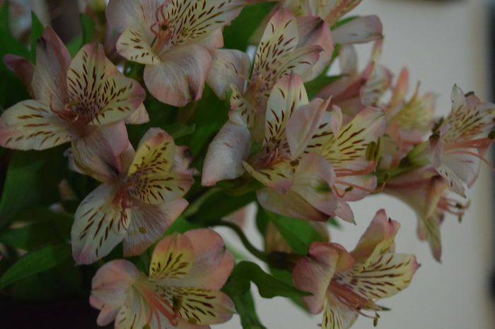Alstroemeriaceae, Peruvian lilies or Lilies of the Inca, flowers Alstroemeriaceae Astromelias Close-up Flower Flower Head Fragility Freshness Nature No People Peruvian Lily Petal Plant