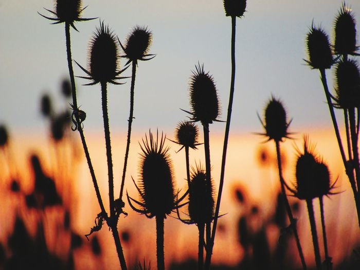 SOON THESE WILL BE IN BLOOM, BUT THEIR SILHOUETTE IS STILL BEAUTIFUL TO SEE Background Defocus Spring Nature Beauty In Nature Sunset Colorful Sky Beautiful Backdrop Silhouette Springtime EyeEm Selects Thistle Flower Flower Head Close-up Sky Plant Spiky Plant Stem Dried Plant Dead Plant Dried Spiked