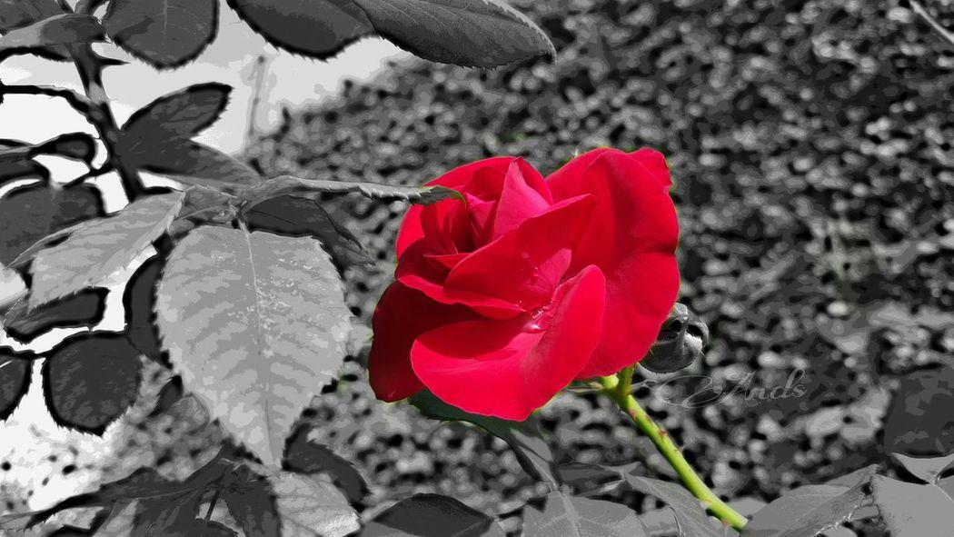 Dedico essa flor a todas que curtir as minhas fotos ❤ Boa Noite ✌❤ Foto Florida Flores Y Más Flores Flowerporn Canada Coast To Coast Chicago Maiami Mumuzinho First Eyeem Photo