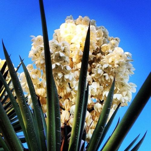 Yucca Nature No People Plant Day Flower Outdoors Beauty In Nature Yucca Sky