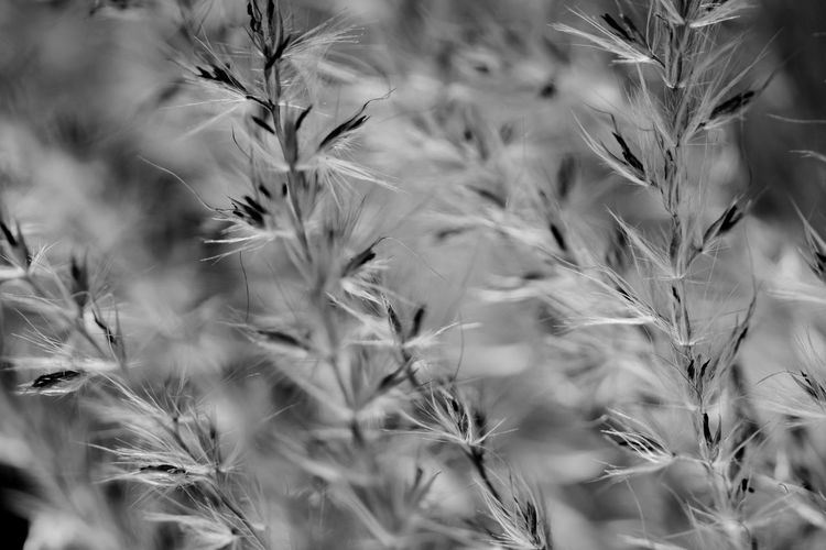 EyeEm Selects Nature Cereal Plant Plant Field Uncultivated Growth Close-up Closing Flower Beauty In Nature Agriculture Rural Scene Timothy Grass Full Frame Wheat Outdoors No People Beauty Day Fragility