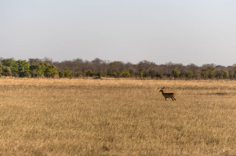 View of an impala on field