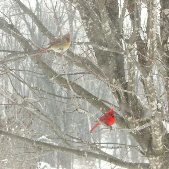 Learn & Shoot: Balancing Elements Cardinal Pair Birds Contrast Male And Female Cardinals Winter