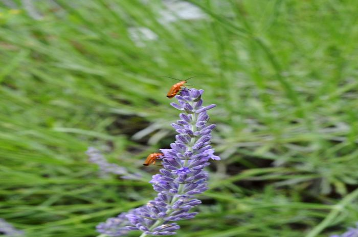 Lavender bugs. Insect Animals In The Wild Flower Lavender Animal Wildlife Purple Plant Fragility Nature Beauty In Nature Pollination Growth Outdoors Summer Travel Travel Photography My Country