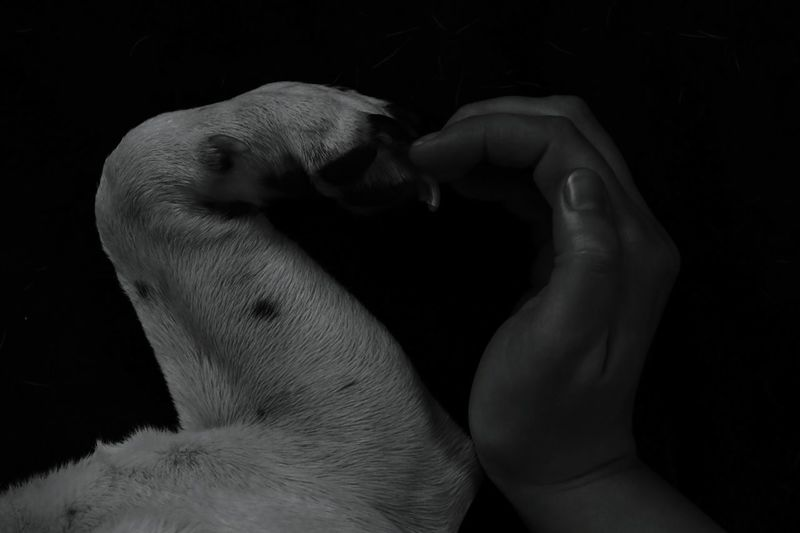 Cropped image of hand and dog limb making heart shape against black background