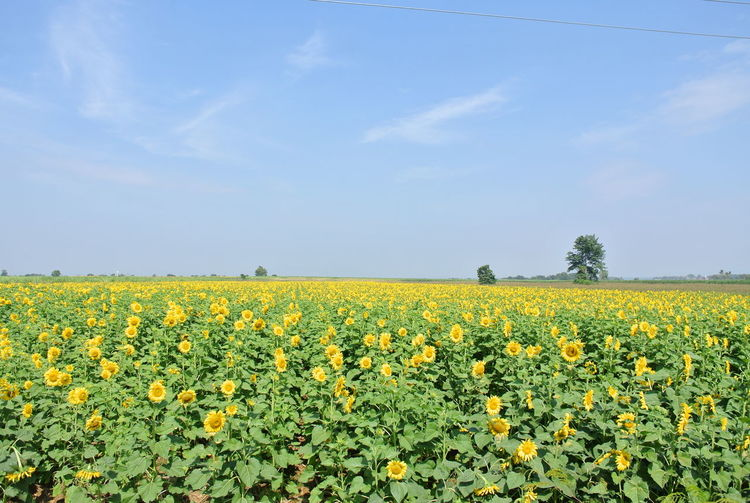 Yellow Flower Flowering Plant Field Beauty In Nature Landscape Plant Growth Sky Land Agriculture Rural Scene Freshness Environment Tranquil Scene Scenics - Nature Tranquility Nature Crop  Oilseed Rape Farm No People Outdoors Flowerbed