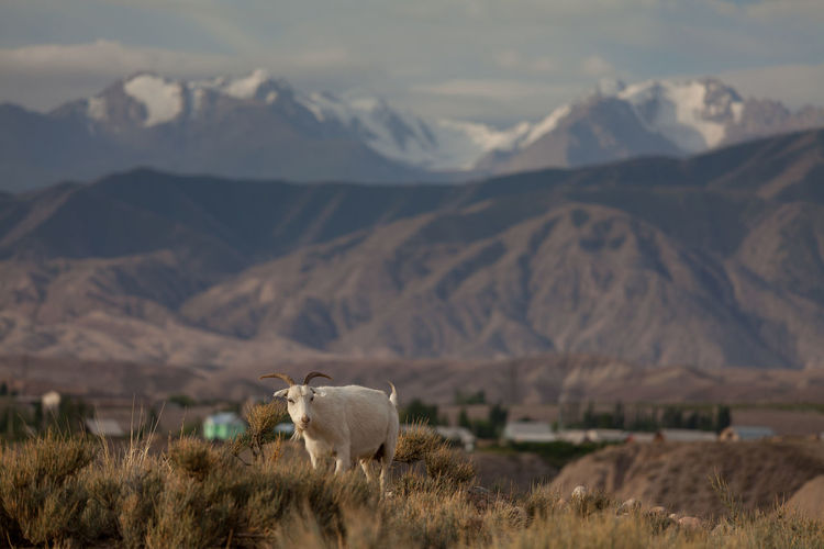 Goat On Landscape Against Mountains