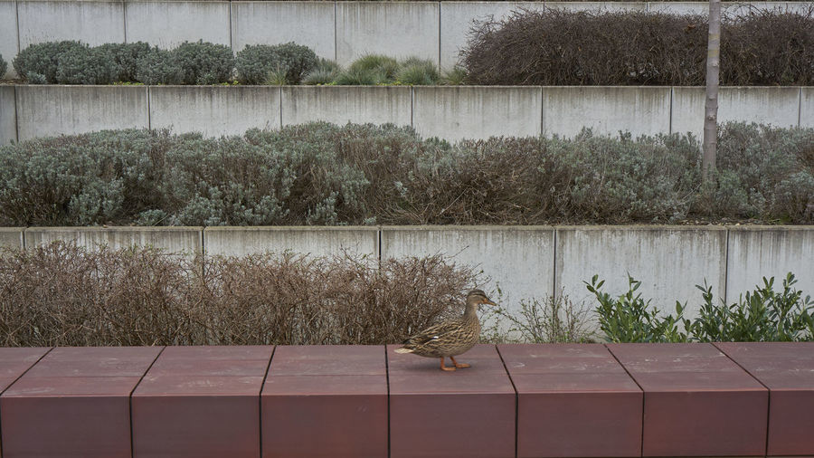 Duck perching on wall against plants