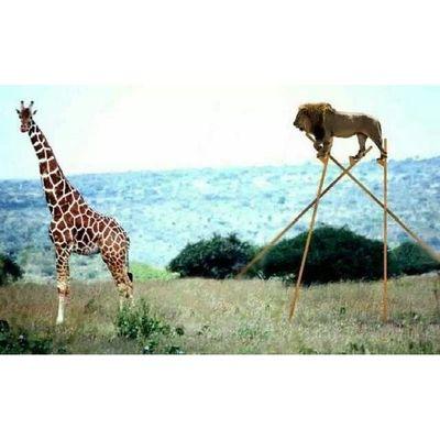 Açken sen sen değilsin. Aslan Zürafa Lion Graffe animals