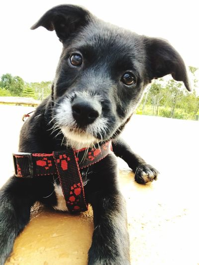 Katana Oreo. Our little princess Photogenic Dog Mammal One Animal Pets Domestic Animals Domestic Animal Themes Canine Dog Looking At Camera Outdoors Black Color Close-up Portrait Pet Collar