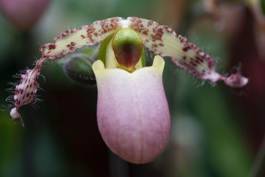 Alien beauty Delicate Plant Orchid Macro Close-up Focus On Foreground Growth Nature No People Flower Day Plant Freshness Fragility Beauty In Nature Flower Head