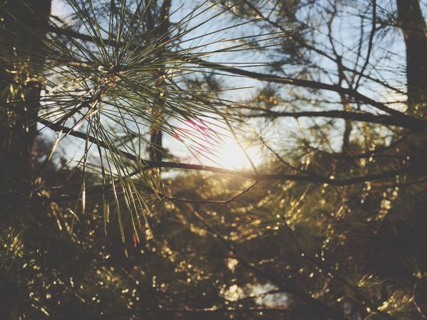 Sun Through The Trees Sun Pine Needles Pine Trees Close Up Nature Close Up Trees Nature Outdoors Outside Peaking Peaking Through Forest Showcase April Shootermag Landscape Branches Branches And Sky