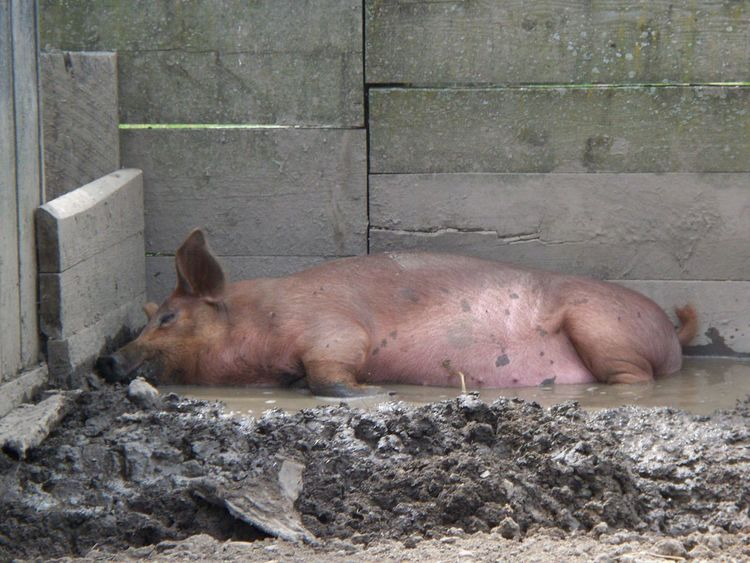 Animal Themes Day Domestic Animals Livestock Lying Down Mammal No People Outdoors Pig Pig In The City  Piggy Piglet First Eyeem Photo