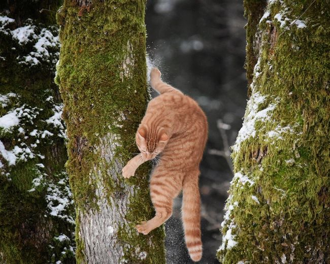 Ginger Cat Climbing On Moss Covered Tree During Winter