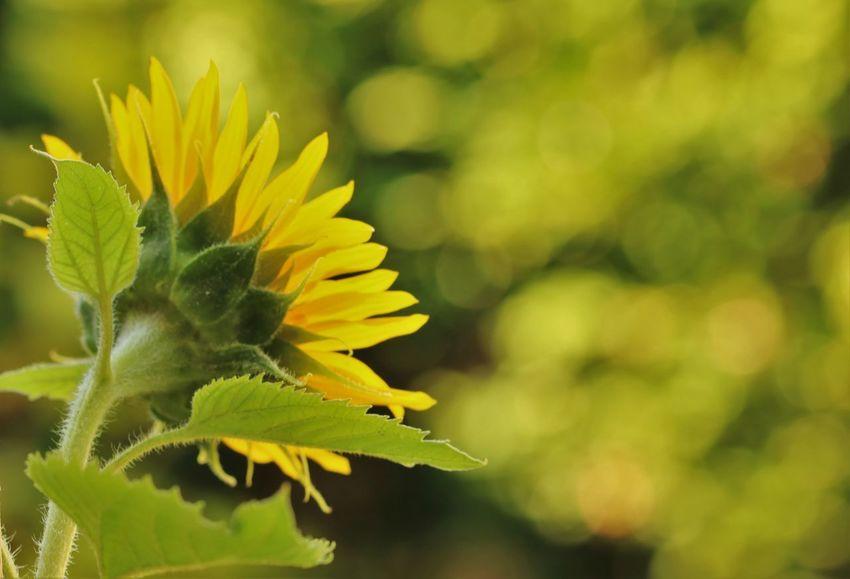 🌻SONNENBLUME🌻 Diese reifen Tage, wie verklärst du sie! Süße Sommersage ohne Reu und Frage, reine Melodie! Du, vom Weltenfeuer Abbild, Gleichnis, Glanz, treibst mit immer neuer Kraft ins Abenteuer und verschenkst dich ganz. Starke! Gott zum Ruhme trag dein Liebeslos: Hier auf schmaler Krume und für eine Blume ist es fast zu groß. (Josef Weinheber) Beauty In Nature Bokeh Bokeh Photography Bokehlicious Colour Of Life Every Flower Is A Soul EyeEm Nature Lover Flower Head Flowers_collection For My Friends That Connect Freshness From My Point Of View Hello ❤ In The Garden Ladyphotographerofthemonth My Garden Is A Wonderland My Unique Style Nature Poetry In Pictures Single Flower Sunflowers🌻 The Essence Of Summer Vibrant Color
