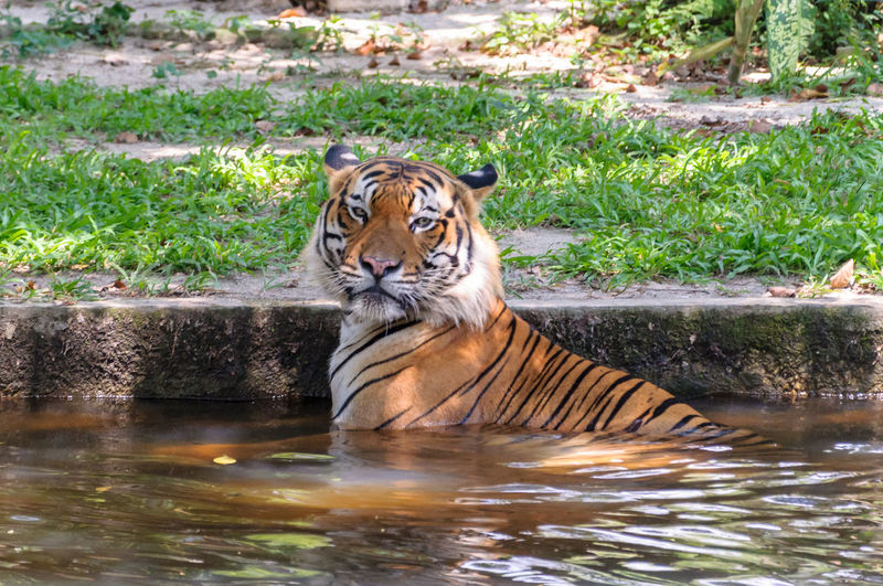 Portrait of tiger in water