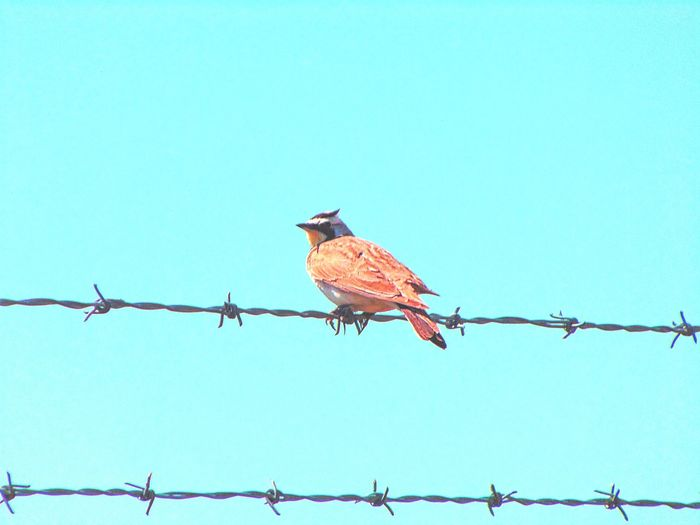 Animal Animal Themes Avian Barbed Wire Bird Blue Clear Sky Day Focus On Foreground Horned Lark Low Angle View Nature Outdoors Perched Perching Sky The Essence Of Summer Wildlife Wire Wyoming