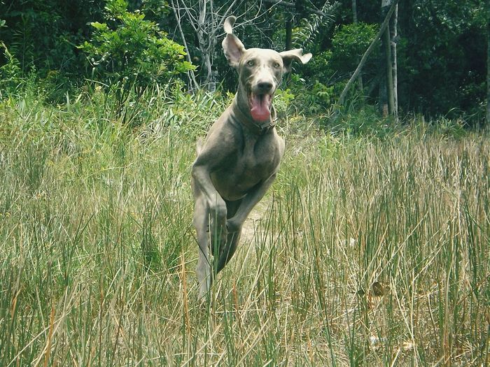 Dog Running Dog