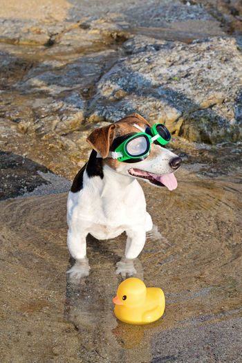 High angle view of dog wearing sunglasses standing by rubber duck on shore at beach