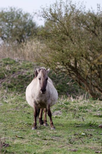 Too Heavy Anydaynow Pregnant Konik Horse Animals In The Wild