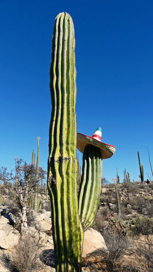 Cardon cactus with bolero hat Cactus Succulent Plant Plant Saguaro Cactus Nature Land Growth No People Day Desert Sky Clear Sky Sunlight Beauty In Nature Scenics - Nature Arid Climate Thorn Green Color Climate Outdoors Semi-arid Panoramic Tourim Hill Mountain Mexico Tree Rock Formation Beautiful Green Blue Blue Sky Scenics Upright Summer Decoration Mexican Hat USA Flora Cacti