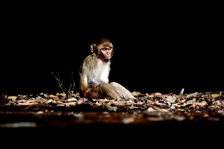 Portrait of monkey looking away while sitting on black background