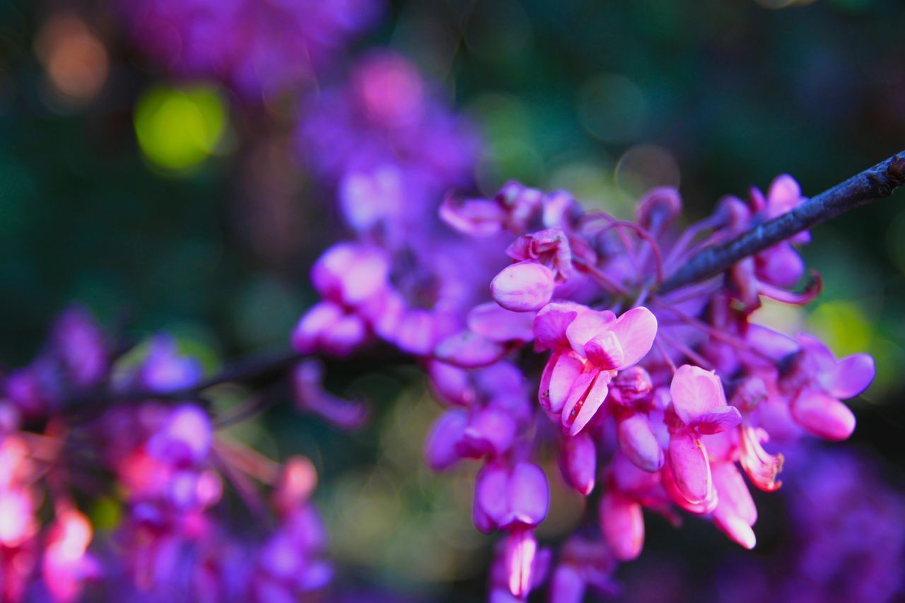 flower, beauty in nature, nature, growth, fragility, petal, freshness, purple, focus on foreground, outdoors, day, close-up, springtime, branch, no people, tree, flower head