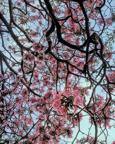 Millennial Pink Tree Nature Outdoors Beauty In Nature Flower Pink Flower 🌸 Pink Color Flowers