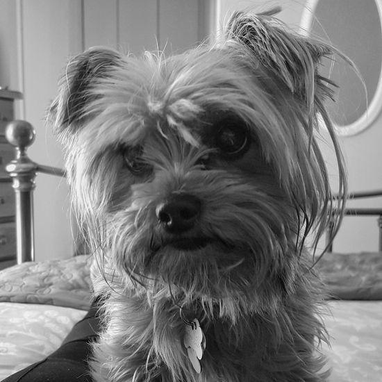 Sookie Yorkie Yorkshire Terrier Yorkshireterrier YorkieBestShots Yorkiesofinstagram Yorkie Selfie Dog Bestfriend Animal Pets