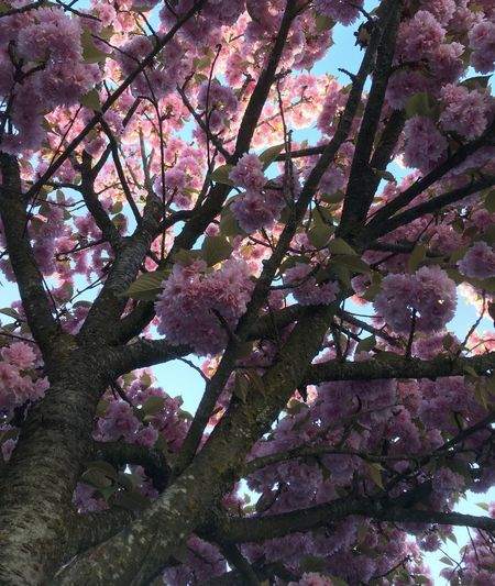 Beauty In Nature Branch Colour Of Spring Flower Low Angle View Nature No People Pink Color Springtime Tree