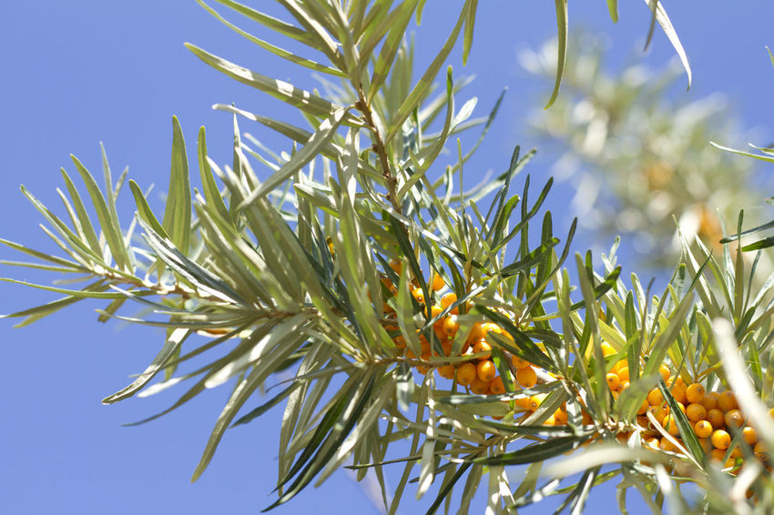 Sea Buckthorn Berries Orange Plant Sanddorn Beauty In Nature Berry Fruit Close-up Day Freshness Fruit Growth Nature No People Outdoors Pflanzen Plant Ripe, Sanddornsträucher Sea Buckthorn