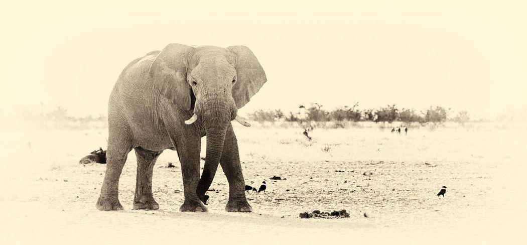 Africa Animal Beauty In Nature Elephant Etosha Mammal Namibia Nature