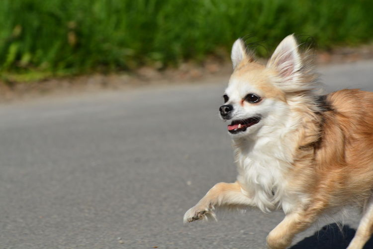 Close-up of dog running on road