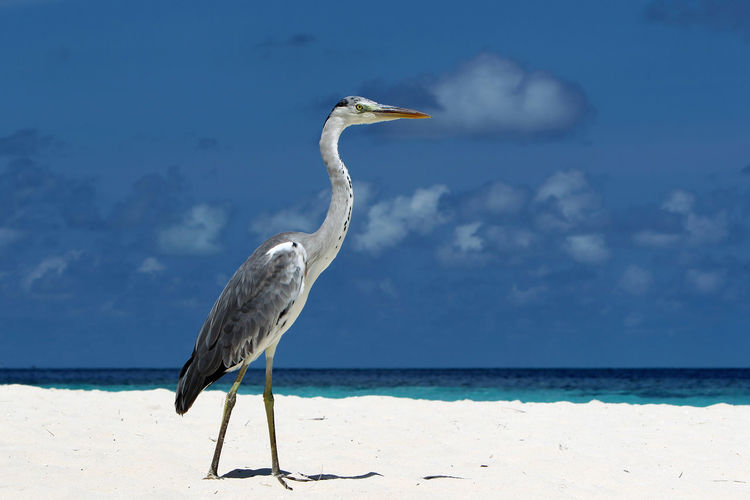 Side View Of Grey Heron At Beach Against Sky