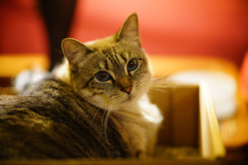 Kitty Animal Themes Cat Cat Look Cat Rescue Cat Shelter Cats Close-up Domestic Animals Domestic Cat Feline Indoors  Looking At Camera Lying Down Mammal No People One Animal Pet Pet Care Pet Shelter Pet Sitting Pets Portrait Selective Focus Whisker
