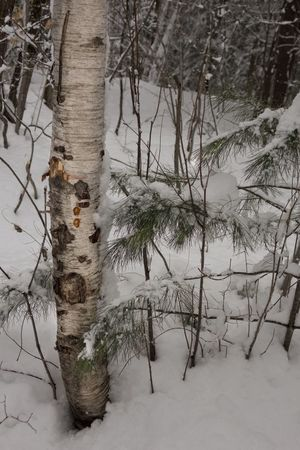 Birch Wintertime Winter Wonderland Trees Tree Trunk A Walk In The Woods Winter Trees Bark Snow ❄ Pine Tree Snow Covered Tree Snow Cold Temperature Winter Forest Branch Pinaceae Landscape Sky Evergreen Tree