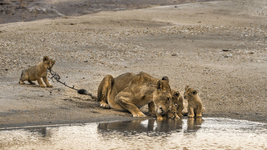 Lioness with cubs at national park