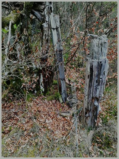 Outdoors Nature Tree Close-up Backgrounds Beauty In Nature spring Kirriemuir Countryside Kate's Wood old fence posts