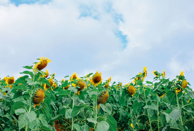 Sunflower with white cloud. Sky Plant Growth Nature Beauty In Nature Freshness Leaf Green Color No People Cloud - Sky Flower Day Close-up Outdoors Sunflower Vulnerability  White Clouds