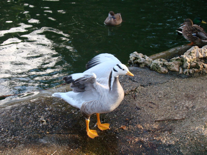 Anser Indicus Anser Indicus Anseriformes The Week on EyeEm Animal Themes Animal Wildlife Bird Day Duck Goose Lake No People One Animal Outdoors Pato Spread Wings Swan Water