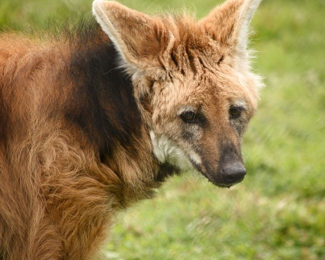 Maned Wolf Omnivore Animal Animal Themes Animal Wildlife One Animal Mammal Animals In The Wild No People Outdoors Day Nature Brown Focus On Foreground Portrait Safari Vertebrate Animal Body Part Animal Head  Close-up