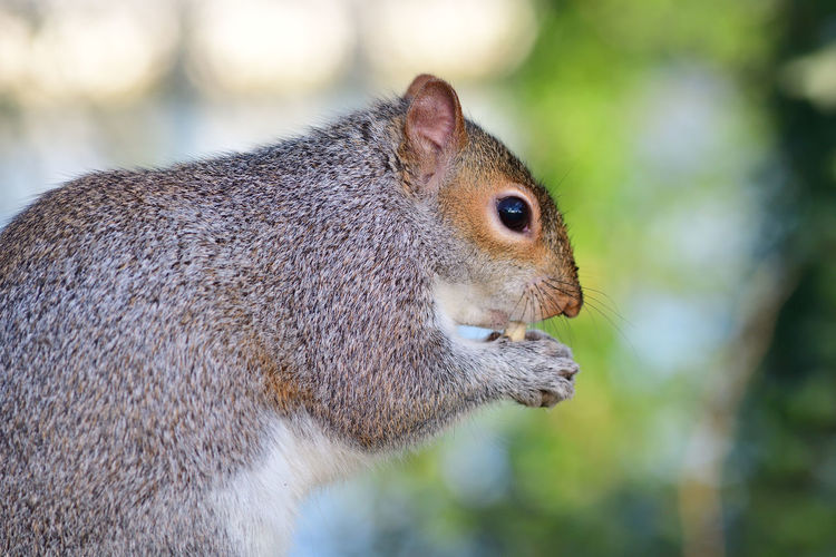 Sidee view of a gray squirrel eating a nut
