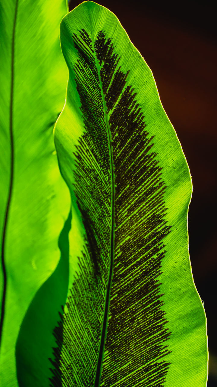 CLOSE-UP OF GREEN LEAVES ON PLANT AGAINST BLACK BACKGROUND