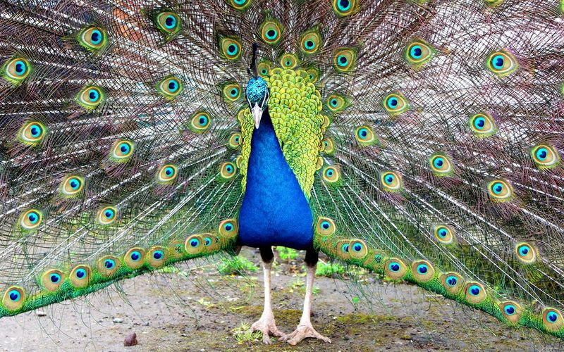 Peacock with feathers fanned out at zoo