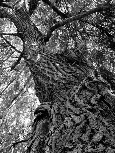 Tronc Trees EyeEm Nature Lover Campagne LoveNature Forest Intheforest Blackandwhite